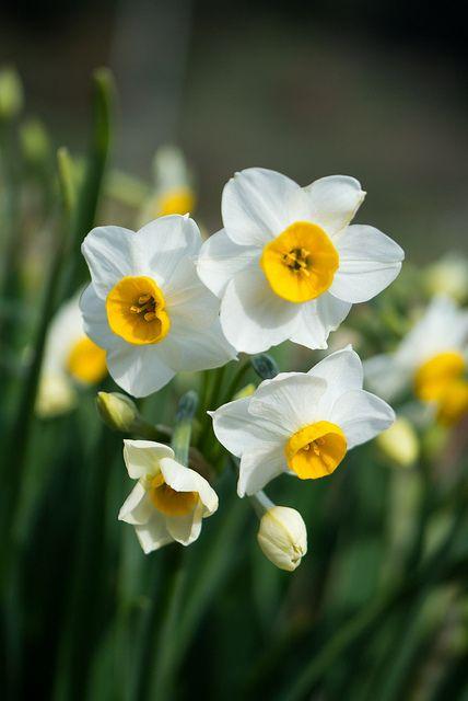 prettylittleflower:    2013 Narcissus #1 by Yorkey on Flickr.