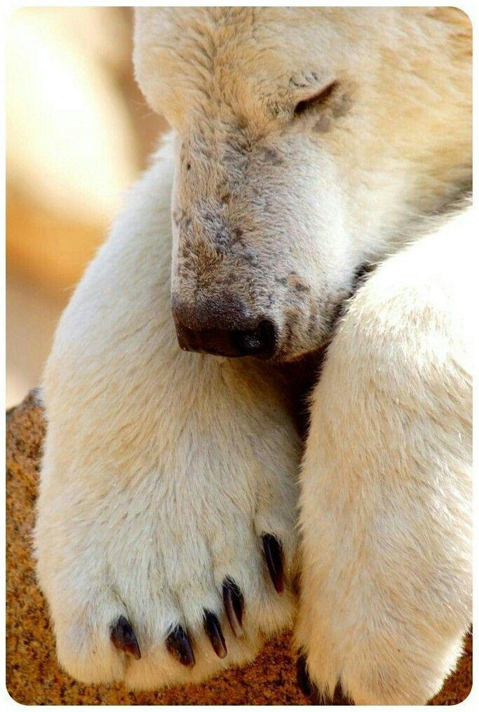 Polar Bear Nap! OMG look at those massive paws!!