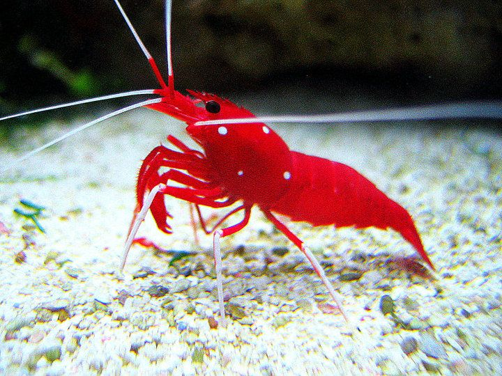 Fire Shrimp.  Peaceful, reef safe.