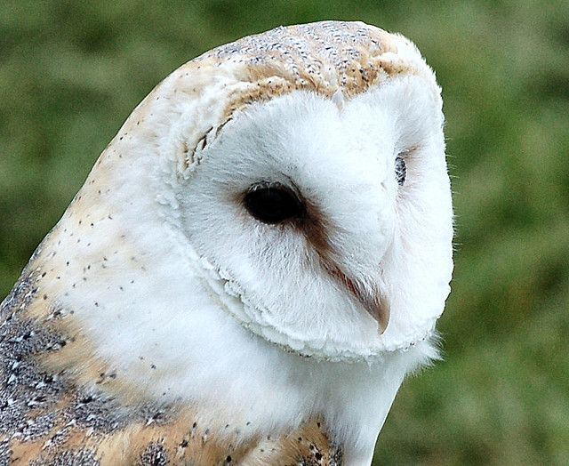 Barn Owl Swooping Down On Prey Pictures Barn Owl Cool