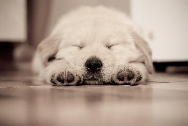 precious: Doggie, Puppies Puppies, Golden Rules, Golden Retrievers, Pet, Adorable, Photo, Animal, Golden Retriever Puppies