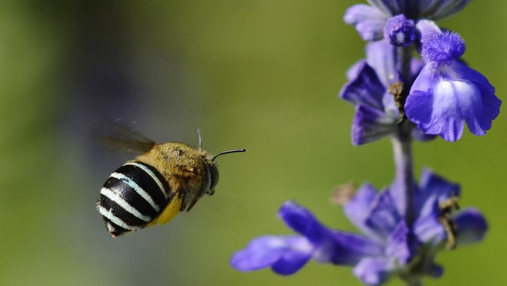 Blue Banded Bee Flying Towards Flower by Tomislav Vucic on 500px  #bluebandedbee #australian #native #bee #blue #banded
