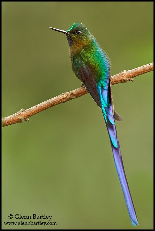 Violet-tailed Sylph--birdie's got a rockin' name.   Sylph means an elemental being in the theory of Paracelsus that inhabits air. Wow.  Let's just do away with the word birds and just call them all sylphs. dk
