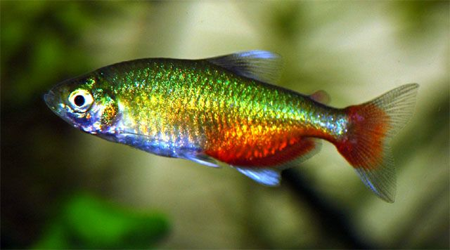 Green Fire Tetra/Aphyocharax Rathbuni (Male, females are larger)