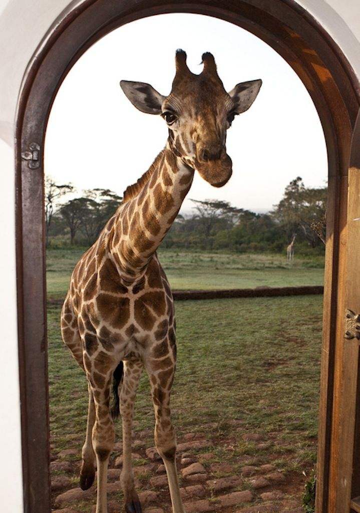 Widlife at your doorstep at the famous Giraffe Manor