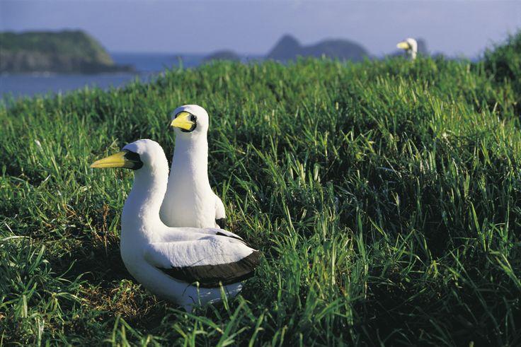 Explore NSW's Howe Island, RoyalAuto Nov 2106. #lordhowe #ordhoweisland #nsw #bird #birds #booby #boobybird