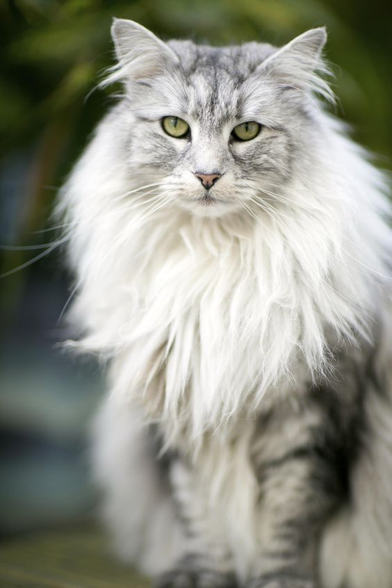 Click The Photo For More Adorable And Cute Cat Videos And Photos Cutecats Cats Kittens Catvideos Persian Cat Beautiful Cats Cute Cat Gif