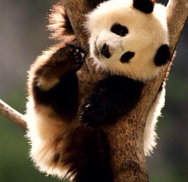 Panda - Page 2 Da5a61533f870e7345f7cf5610e620e5