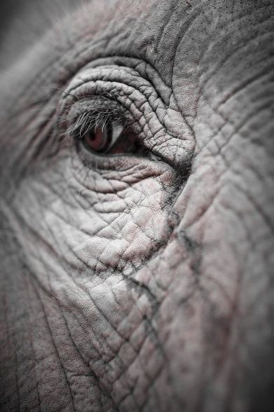 Have you ever looked into an elephant's eye, in person I mean?  You'll never be the same...