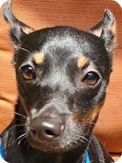 tampa, FL - Miniature Pinscher/Dachshund Mix. Meet Ariel, a dog for adoption. http://www.adoptapet.com/pet/18209745-tampa-florida-miniature-pinscher-mix