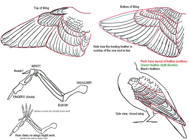 Bird Wing Feathers Diagram Closed Electrical Drawing Wiring Diagram