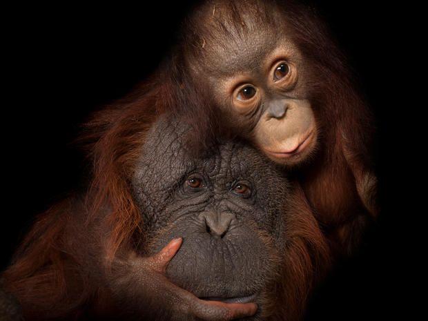 Bornean Orangutan -  A baby Bornean orangutan (Pongo pygmaeus) named Aurora, with her adoptive mother, Cheyenne, a Bornean/Sumatran cross (Pongo pygmaeus x abelii), at the Houston Zoo.  CREDIT: Joel Sartore