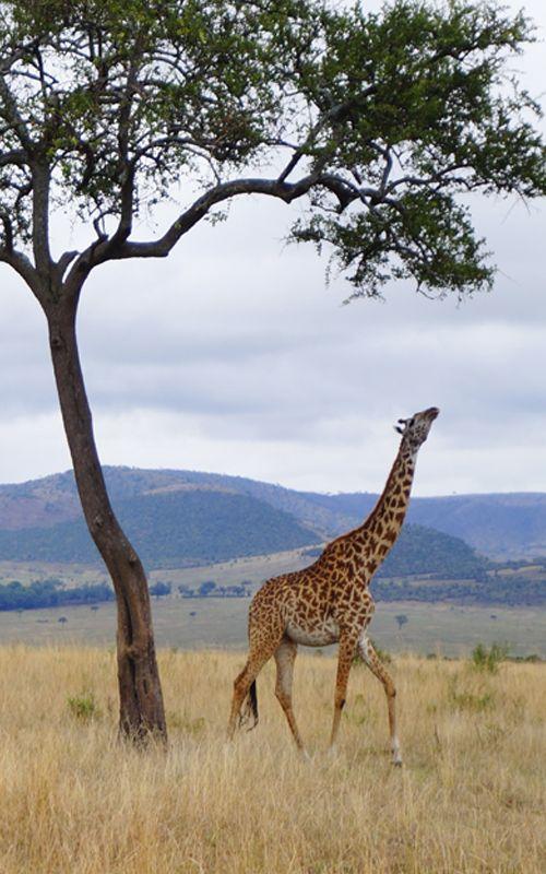 Las elegantes jirafas de Kenia te esperan en el Masai Mara. No te pierdas los mejores consejos para preparar tu safari en el país africano en www.espressofiorentino.com #Kenya #safari #Kenia #jirafa #animals
