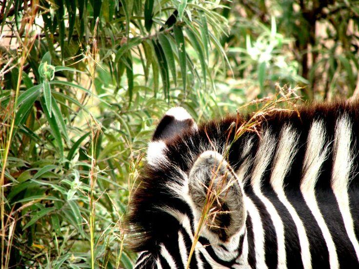 Listen zebra