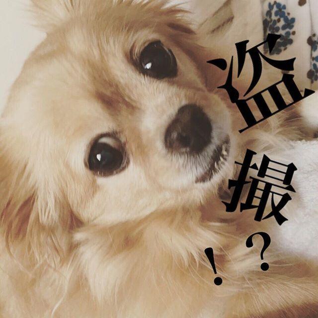 🎀🐷『盗撮!??💢』 いや、いつものちゃみ様やんけ!  すんごい、回復してきました! ご飯は食べてないので  やっぱり、フラフラはしてますが、 うちの娘、太っているので、 それが蓄えになっているらしいです。。(笑)  それを聞いて本人ブチ切れでした。 爆笑  #chihuahuaworld #chihuahuafanatics #chihuahualover #犬のいる暮らし #犬のいる生活 #dog#dogstagram #闘病犬ガンバレ #元気玉#届け#こっちにもくれ#盗撮#バレました#チワワ#ちわわ#ロングコートチワワ#sister#シニア犬#っていうな#🎀🐷#盗撮したからめっちゃ変な顔#うけるw#愛犬 #の下僕