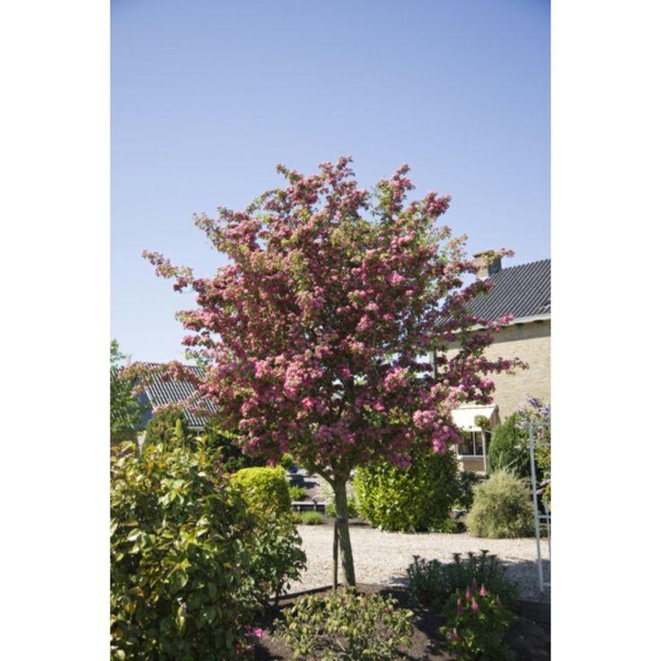 Rosehagtorn, stamme 90 cm