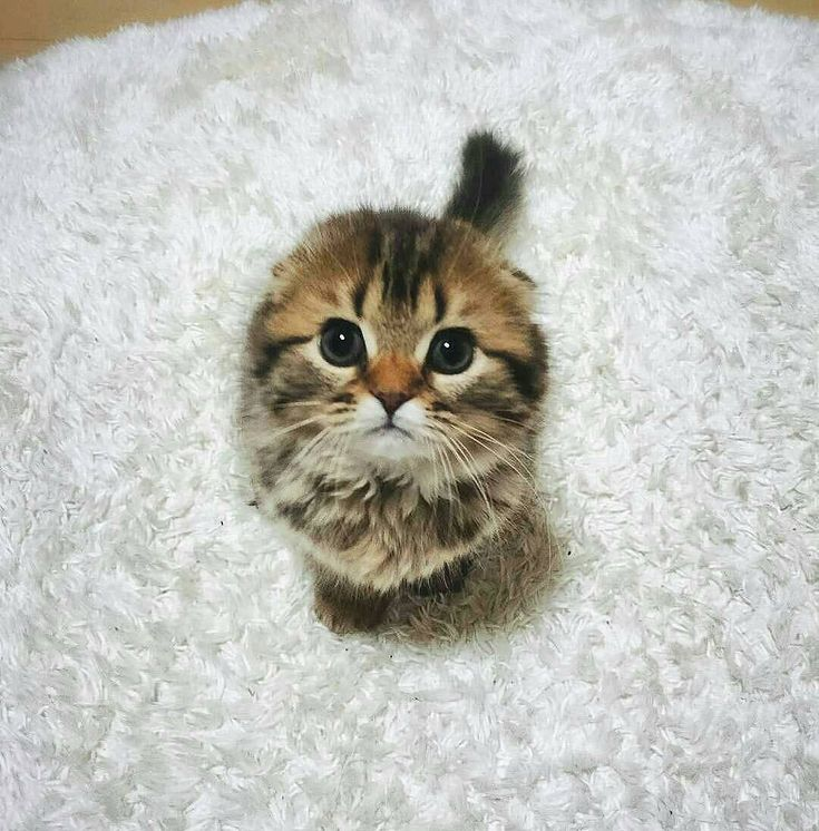 Les 147 meilleures images du tableau les chatons les plus mignons cutest kittens ever sur - Photo chaton trop mignon ...