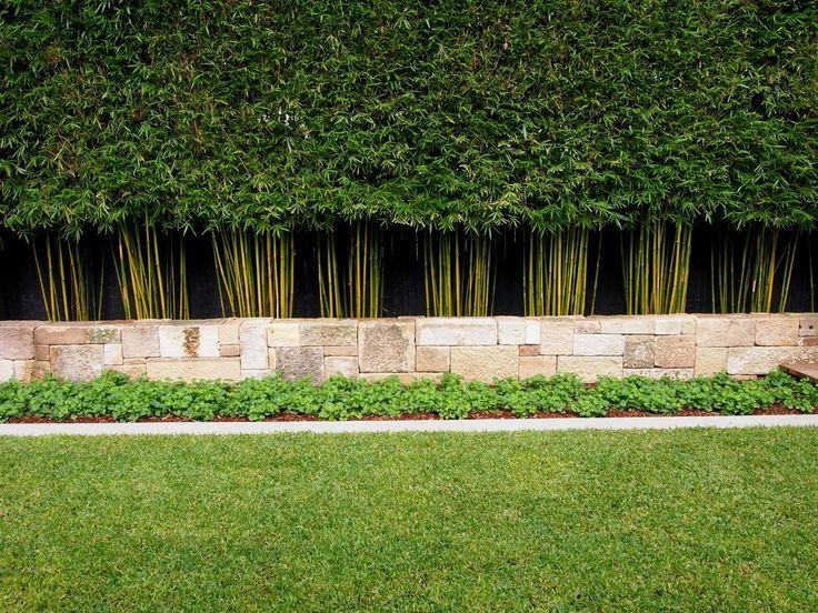 slender weavers bamboo, pleached and trimmed