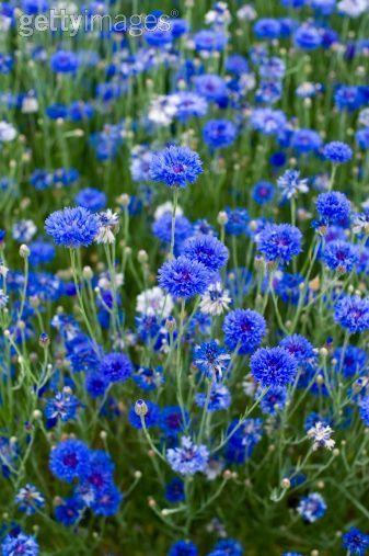Cornflowers ~ Bachelor Buttons