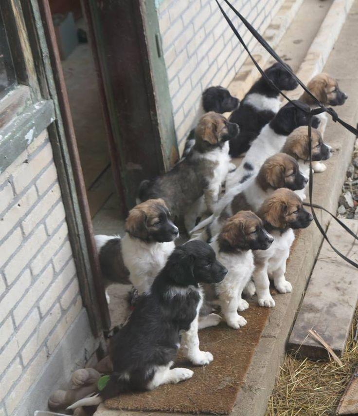 11 puppies in the kennel Z Chřibského úpatí. Bred by Bronislava Chytilová (2014)