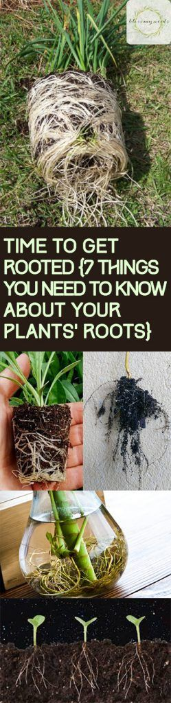 Plant Roots, Things You Shuld Know About Your Plants Root System, Care Tips for Plant Roots, How to Keep Your Plants Healthy, Tips and Tricks for Gardening, Gardening Tips and Tricks, Gardening Care Tips, Gardening Care Hacks, Popular Pin