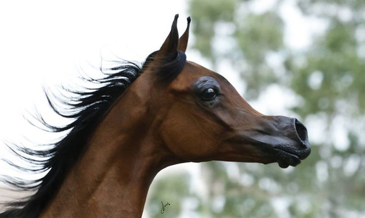 Has the Selective Breeding of Horses gone too far?