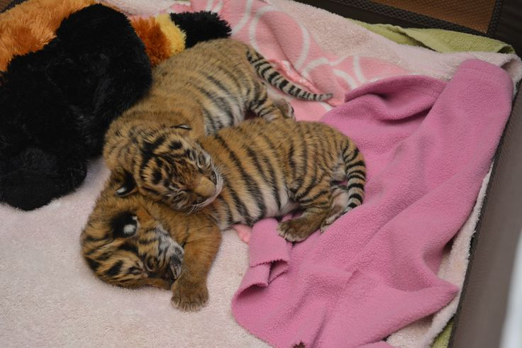 Two Malayan Tiger cubs were born at the Virginia Zoo on January 6. The two males arrived, about 12 hours apart, to parents Api and Christopher. Check out ZooBorns to learn more and see more!  http://www.zooborns.com/zooborns/2016/01/critically-endangered-tiger-brothers-at-the-virginia-zoo.html