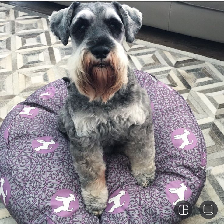 Our model looking schnazzy on his schnauzer pet bed