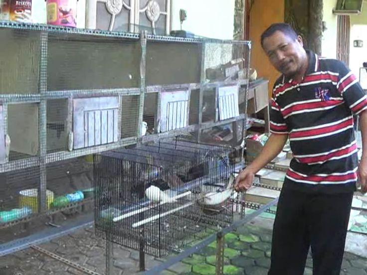 Budiaya Burung Perkutut Beromzet Jutaan Rupiah