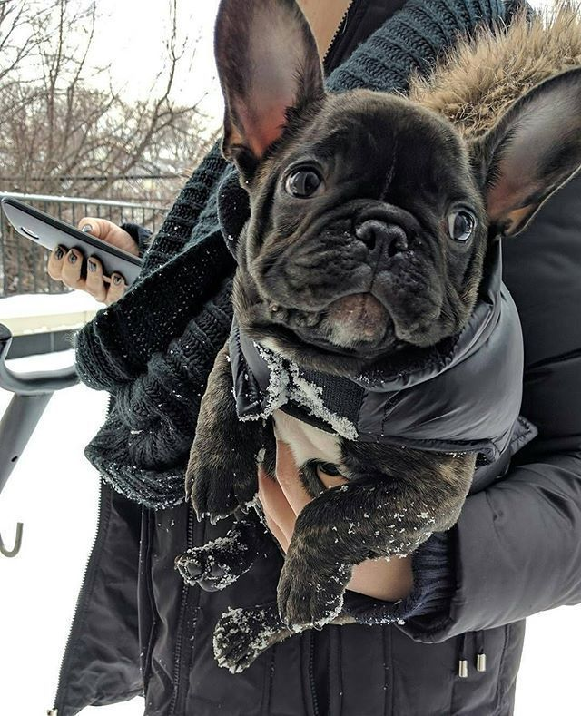 French Bulldog Puppy Dog Wearing A Winter Coat Frenchie In The