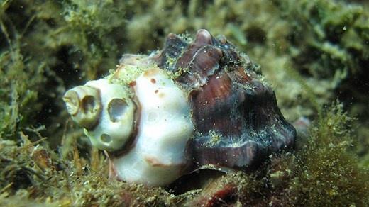 Mussel