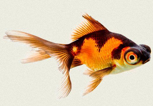 Telescope Fantail Red & Black Fancy Goldfish   Tropicali
