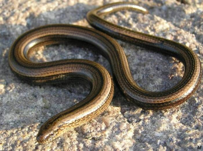 Slow worm - Anguis fragilis - find them in my garden all the time during the summer.