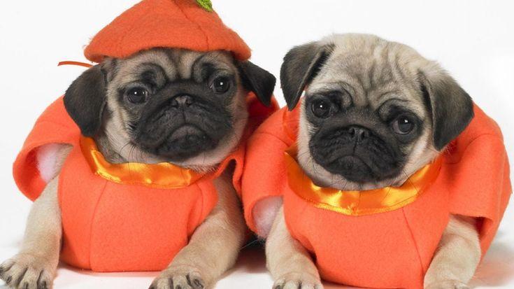 Pug Halloween Costumes