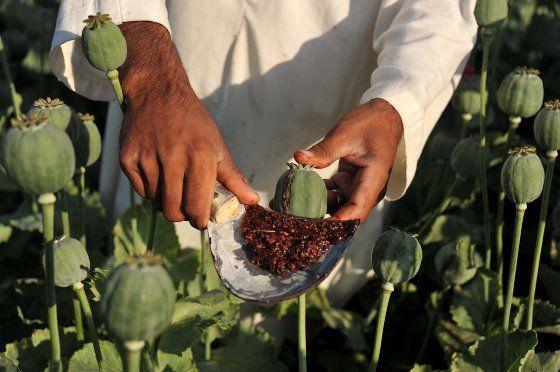 Afghanistan – De oogst van ruwe opium in de papavervelden van Afghanistan. De opiumproductie in het door oorlog geteisterde land bereikt dit jaar een record, zo maakte Verenigde Naties afgelopen week bekend. Inspanningen om boeren om te laten schakelen op andere producten hebben weinig effect.