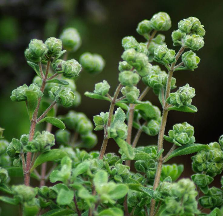 Marjoram, Sweet (Origanum majorana), seeds organic Annual.  60 days to maturity.  May be a short-lived woody perennial in zone 8 and higher.  Native to Southern Europe and the Mediterranean, with the gene center in Portugal.  Culinary spice used for flavoring pizza or the holiday goose, sausage, and myriads of vegetarian cornucopic delights.  Medicinally, the herb is stimulating and carminative in effect.  Plant prefers full sun and pot culture or regular garden soil...