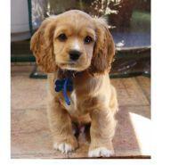 Fotos de Cocker Spaniel Cachorros Disponibles