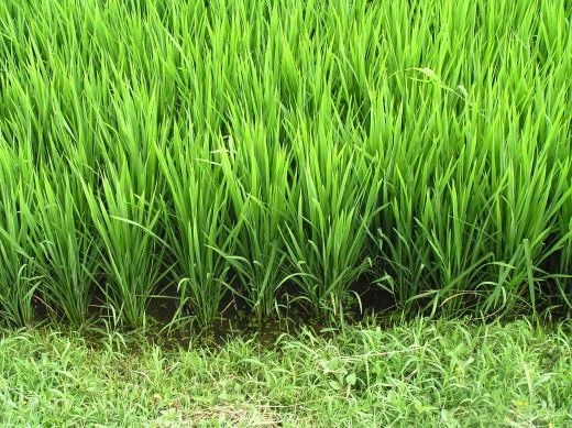 Rice was the most important food for the original Gullahs.