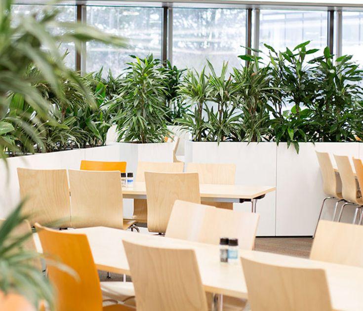 Geschmackvolle Raumbegrünung für die Kantine von Continental Automotive GmbH in Schwalbach am Taunus Büropflanze, Raumbegrünung, Pflanzenpflege, Innenraumbegrünung, interior landscape, zimmerpflanze