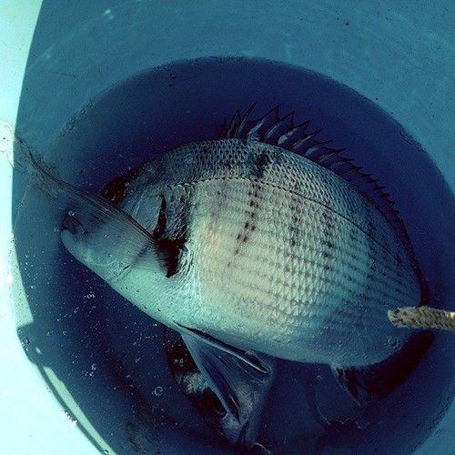 Sarago maggiore #pesca #mare #fishing #sea #elba #portoazzurro #bolo http://ift.tt/1if83ie