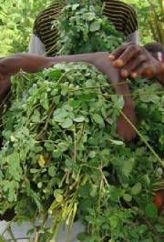 Moringa leaves for making tea and other recipes