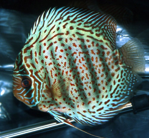 17 best images about discus on pinterest cichlids nice for Best place to buy discus fish
