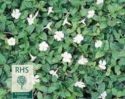 Buy white lesser periwinkle Vinca minor f. alba: Delivery by Crocus