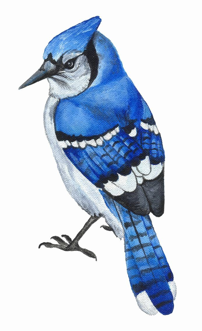 Blue Jay Coloring Page Awesome 17 Best Images About Blue Jay On Pinterest In 2020 Blue Jay Watercolor Bird Birds Painting