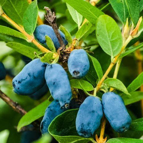 Tundra Honeyberry