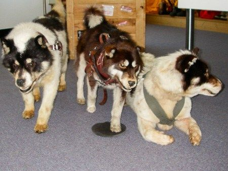 Sled dogs at the Australian Antarctic Division, Kingston, Tasmania | Jill Browne