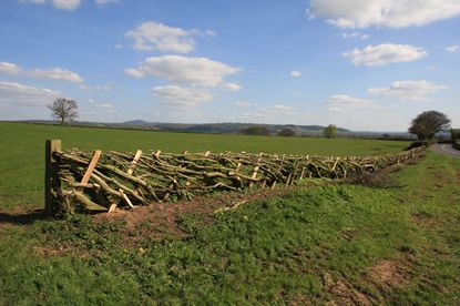 Some of Shropshire's best hedge-laying (Wendy Brogden 2014).