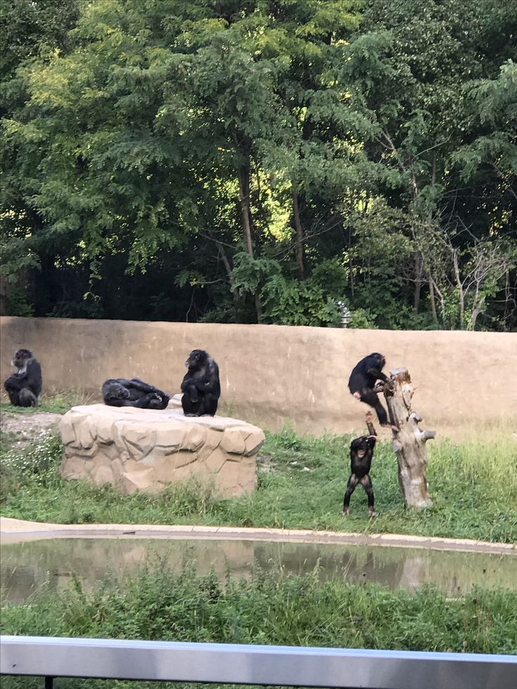 Baby chimpanzee at the Detroit zoo with cin