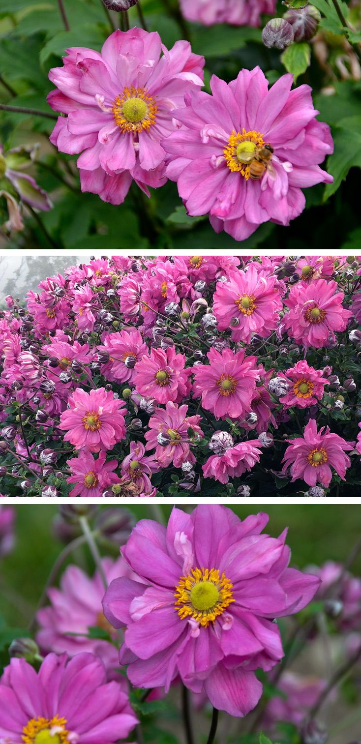 Pink Fall Blooming Perennial Anemone Organic Horticulture Perennials,Most Beautiful Places To Live In The Usa