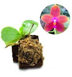 Phalaenopsis Venosa Rp 170,000